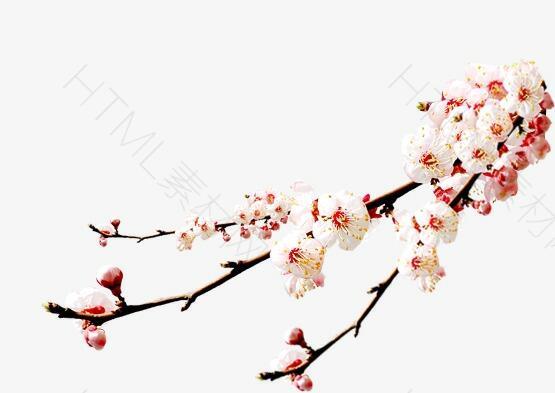花,梅花,粉色,淘宝素材