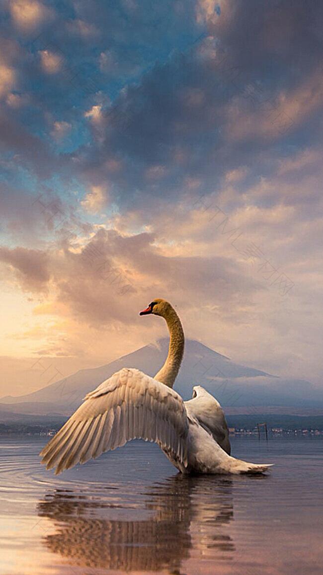 拍打翅膀的天鹅H5素材背景