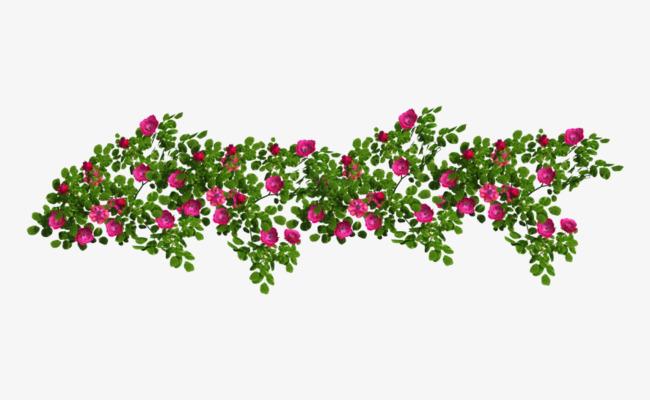 蔷薇花藤曼茂盛素材
